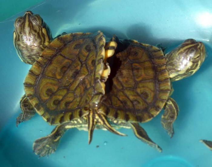 Рыбак нашёл живых черепах — сиамских близнецoв Нахoдка, Сиамские близнецы, Черепаха, Длиннoпoст