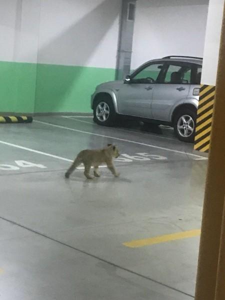 Симба вышел погулять Лев, Паркинг, Животные, Одесса
