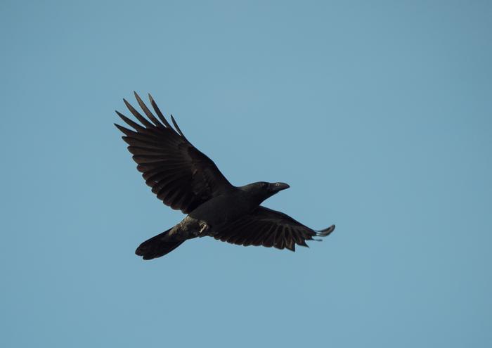 Городские птицы Сорока, Воробей, Ворона, Чайка, Утка, Находка, Длиннопост