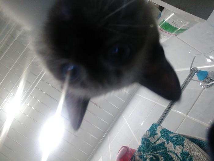 То чувство, когда фотогеничность моего кота зашкаливает ...С детства ... Домашние животные, Кот, Тайская кошка, Милота, Любовь, Домашний любимец, Длиннопост