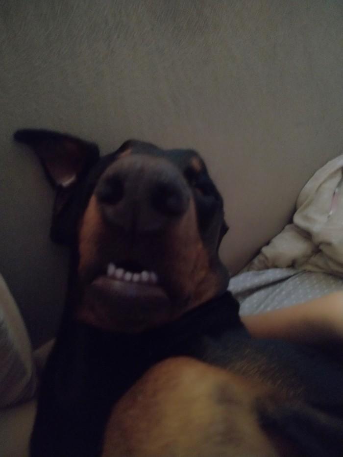 Мой грациозный доберман Собака, Доберман, Фотография, Утро, Постель, Сон, Длиннопост