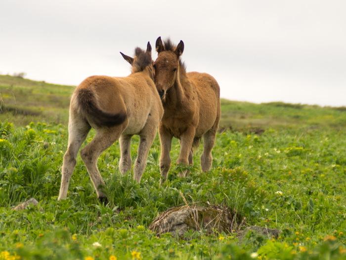 Лошадки Лошадь, Горный Алтай, Лето, Поход, Длиннопост