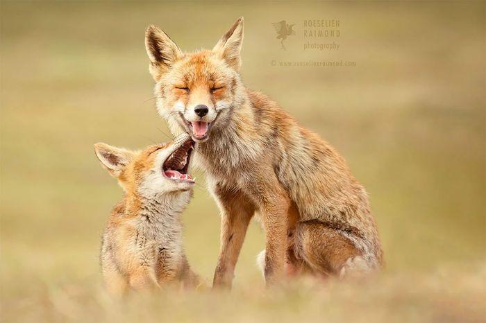 Смешная шутка Лиса, Фотография, Животные