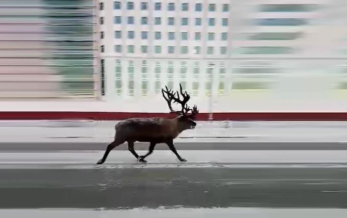 В Салехарде очевидец снял как по одной из центральных улиц бежит олень Ямал, ЯНАО, Правительство ЯНАО, Олень, Новости