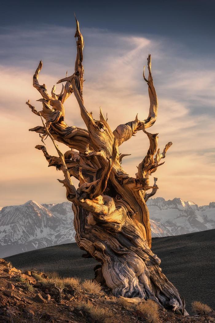 Древнейшая сосна Дерево, Сосна, Калифорния