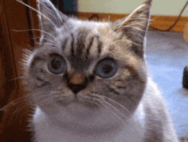 Ученые выяснили, что кошки понимают людей по глазам Исследование, Кот, Глаза, Гифка, Длиннопост