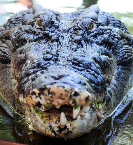 Крупнейший в мире Крокодил Животные, Крокодил, Пресмыкающиеся, Рекорд, Длиннопост