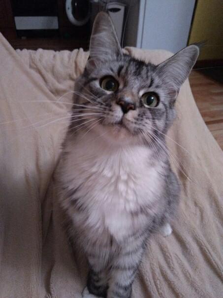 Кошка Мейн-Кун Мейн-Кун, Кот, Котомафия, Животные, Длиннопост