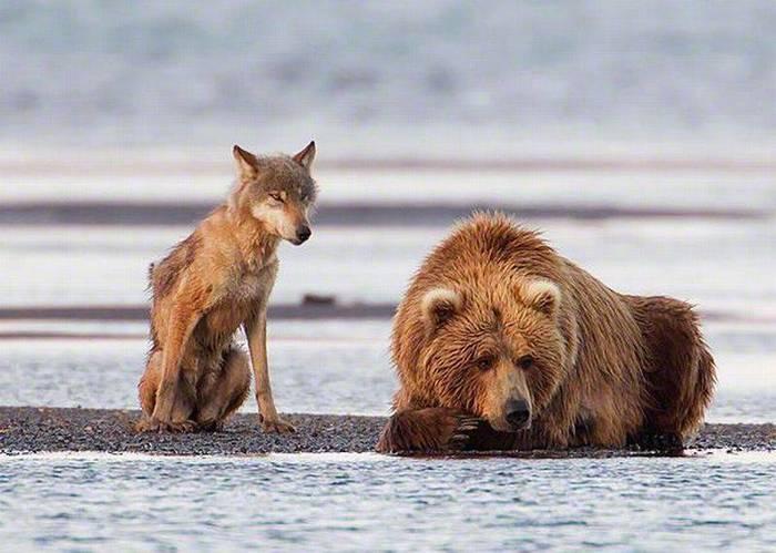 Пссс... медведь. Слышь, что скажу...