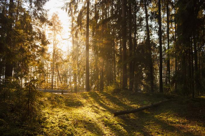 Закат в лесу Солнце, Лес, Закат, Природа, Трава, Осень, Фотография, Дерево, Длиннопост