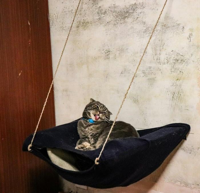 Гамак для любимого кота Кот, Шотландская вислоухая, Котомафия, Гамак, Счастье, Домашние животные, Длиннопост
