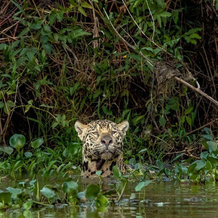 Ягуар в воде. Пантанал, Бразилия.