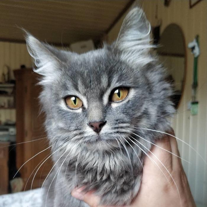 Все любят котиков Кот, Норвежский лесной кот, Или нет