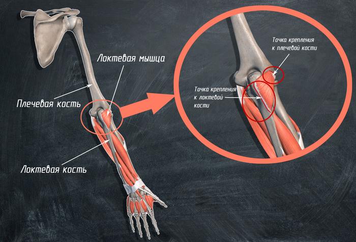 Анатомия мышц. Точки крепления. Силовые упражнения. Анатомия, Анатомия упражнений, Тренировка, Точки крепления мышц, Техника выполнения упражнений, Спорт, Мышцы, Длиннопост