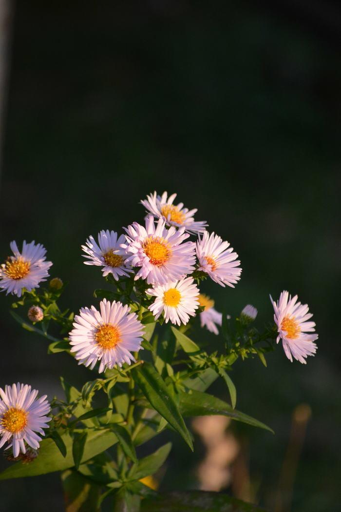 Цвет осени. Фотография, Цветы, Nikon d5200, Яблоки, Осень, Длиннопост
