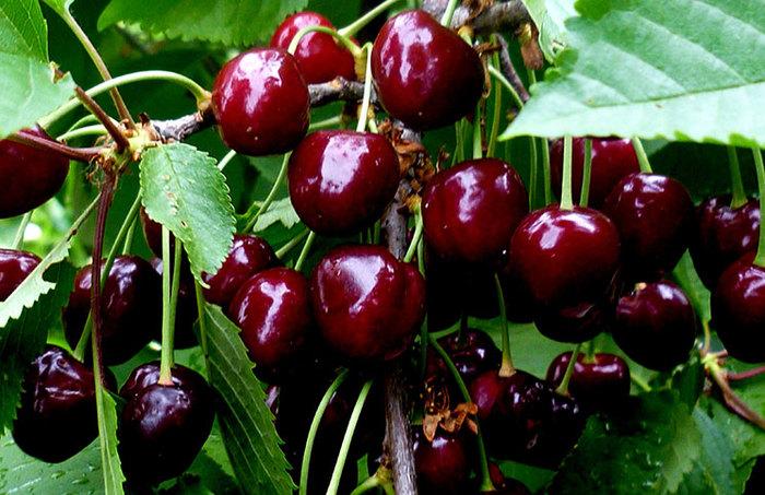 Косточковые ягоды Ягода, Черешня, Вишня, Черемуха, Тёрн, Длиннопост