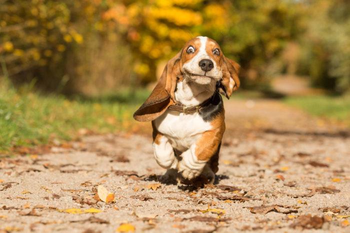 Утренняя пробежка Собака, Фотография, Бассет Хаунд, Милота
