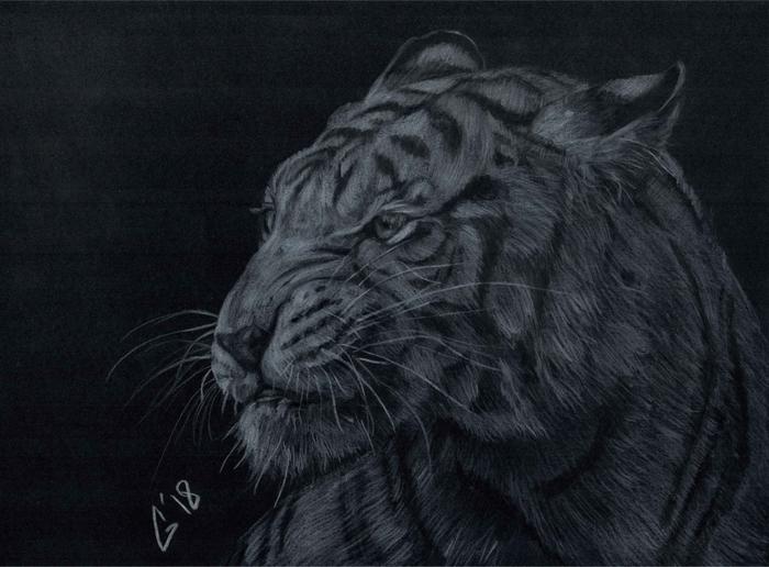Г - графика Рисунок, Анималистика, Черная бумага, Белый карандаш, Длиннопост, Рисунок карандашом, Животные, Большие кошки