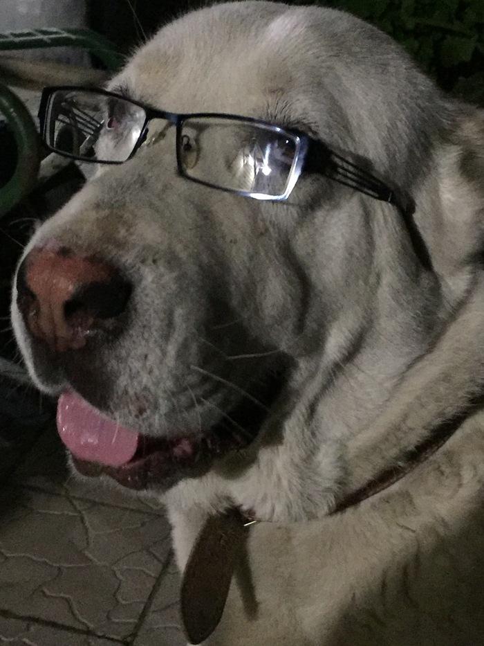 Альбинос-красный нос Домашние животные, Собачьи будни, Собаки и люди, Алабай, Собачники, Длиннопост