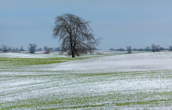 Озимая пшеница и первый снег. Поле, Озимые, Ставрополье, Фотография, Природа, Длиннопост