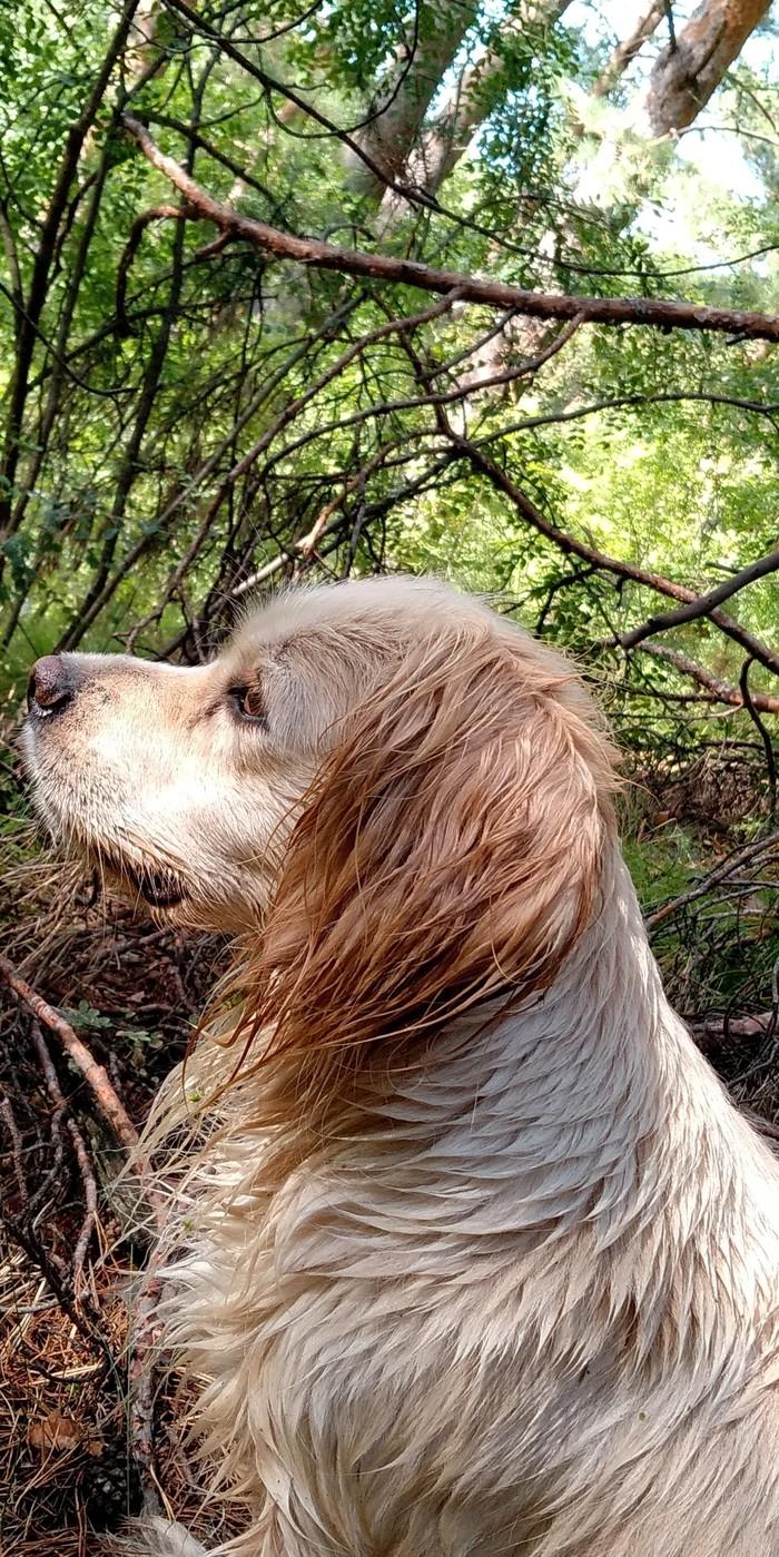 Лада Собака, Домашние животные, Дрессировка, Охота, Плавание, Длиннопост