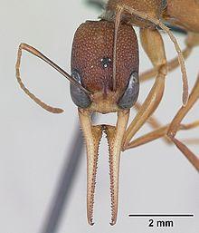 """Harpegnathos'ы или """"Зоркие охотники"""" Муравьи, Познавательно, Интересное, Насекомые, Удивительные насекомые, Видео, Длиннопост, Мимикиперство"""