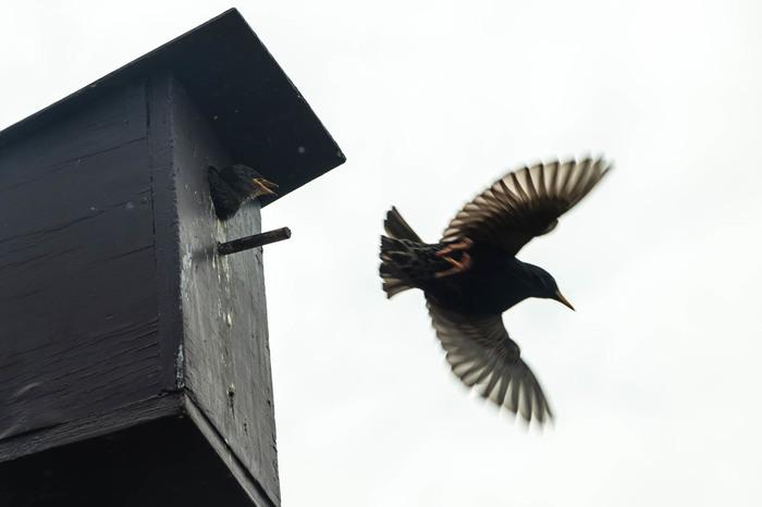 Кормление подрастающего поколения Птицы, Новая зеландия, Скворечник, Скворец, Кормление, Фотография