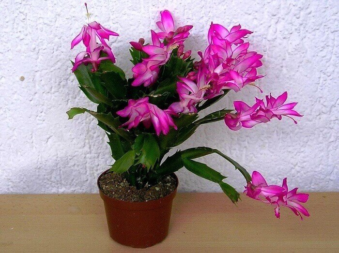 Какие растения цветут зимой? Гиппеастурм, Цикламен, Фаленопсис, Шлюмбергера, Декабристы, Пуансеттия, Комнатные растения, Домашние цветы, Длиннопост
