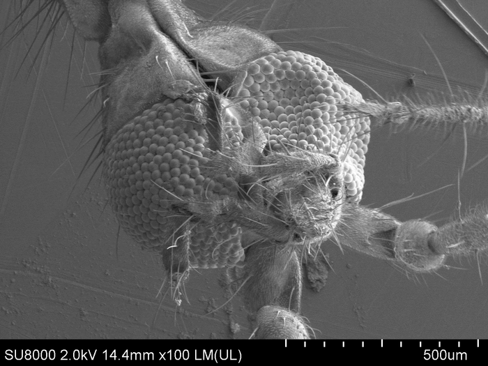 Комар под электронным микроскопом Электронный микроскоп, Насекомые, Комары, Наука, Интересное, Фотография, Длиннопост