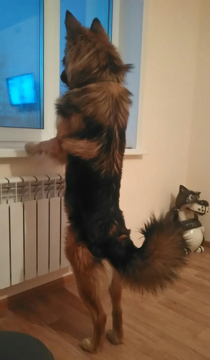 Хватит на котиков смотреть! Вот вам собака - стройняга. Собака, Гром, Метисы, Немецкая овчарка, Лайка, Домашний любимец