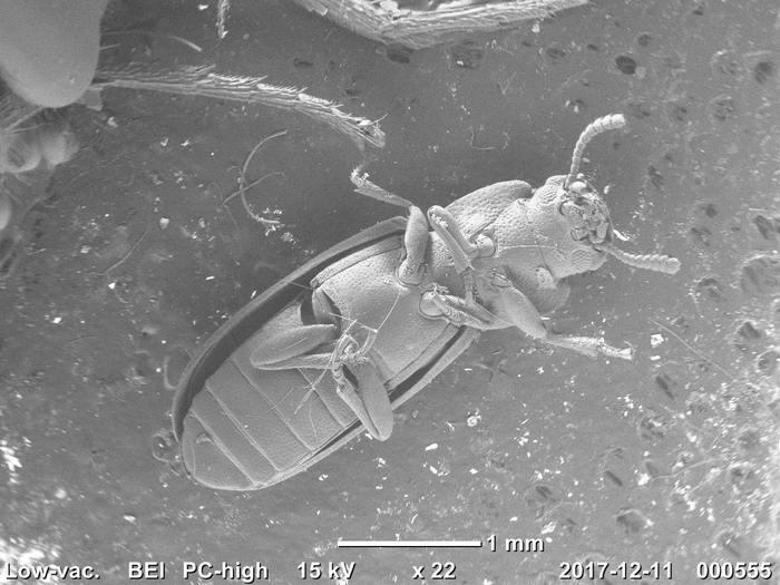 Мои насекомые под электронным микроскопом Электронный микроскоп, Насекомые, Муха, Мучной хрущак, Наука, Фотография, Длиннопост