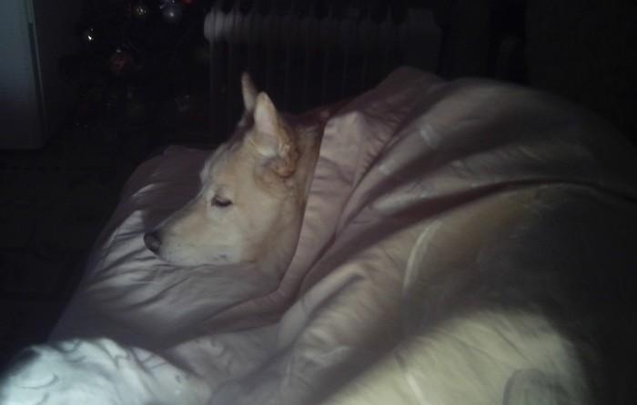 Мой пёс. Собака, Лайка, Длиннопост