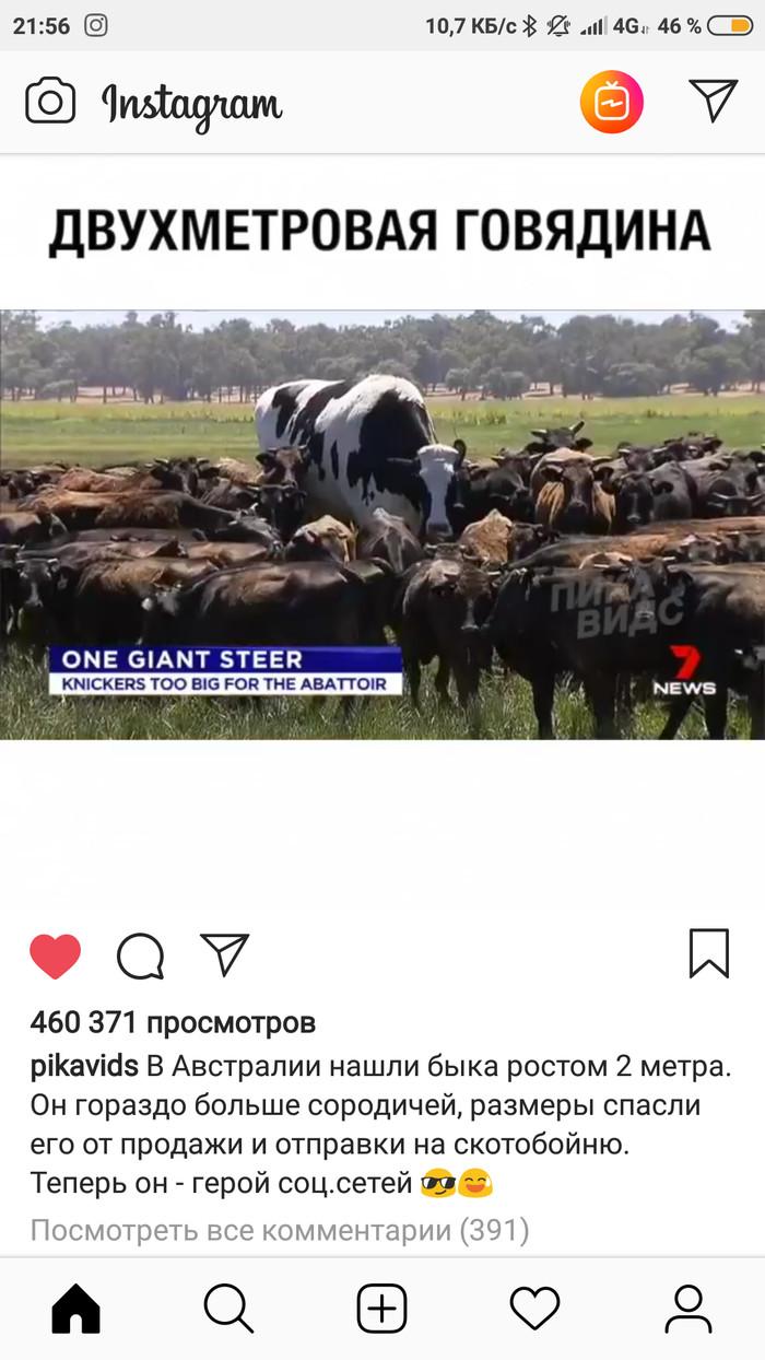 Повеселил комментарий к посту в Instagram Instagram, Бык, Длиннопост, Скриншот, Комментарии