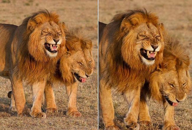 Туристка встретила двух «смеющихся» львов Природа, Лев, Смех, Юмор