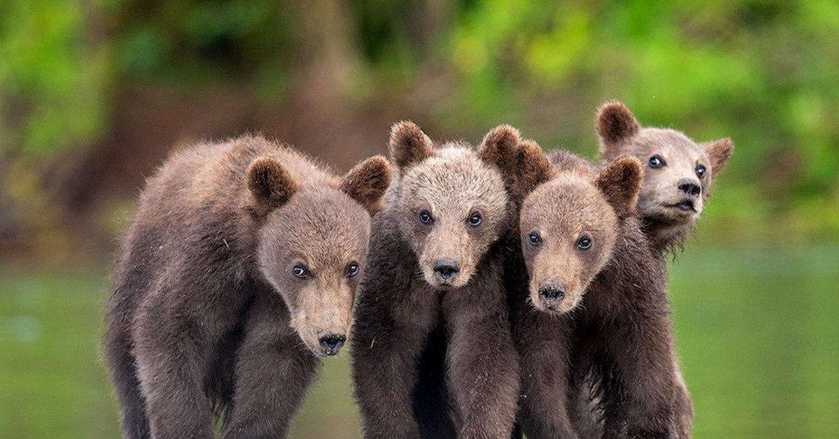 Картинка пять медведей