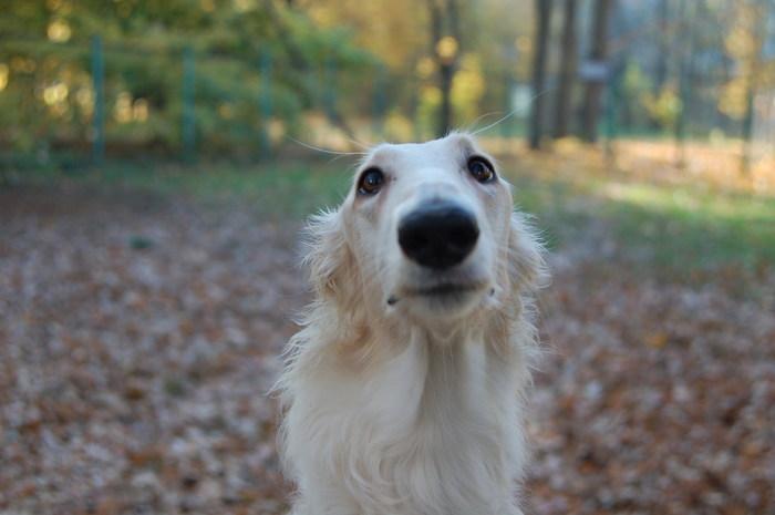 Этот нос. Собака, Капли, Борзая, РПБ, Длиннопост