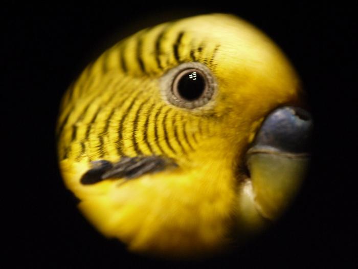 Попугай в макросъемку ) Попугай, Макросъемка, Глаза