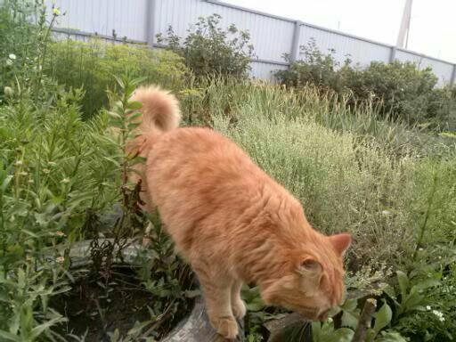 Ко дню домашних любимцев. Рыжий, Пушистый, Сибирский кот, Длиннопост