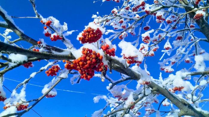 Рябина Фотография, Мобильная фотография, Рябина, Зима, Иней