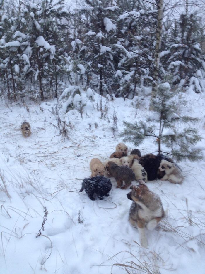 В рязанском лесу в метель выбросили 20 щенков. Щенки, Найденыш, Доброта, Помощь животным, Длиннопост, Собака, Без рейтинга, Рязань