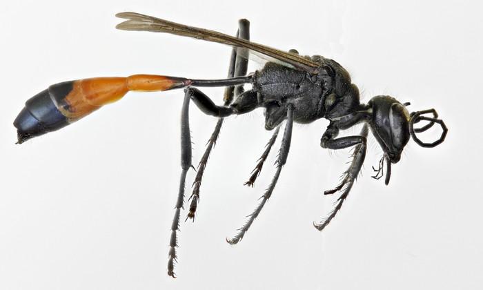 """Ammophila или """"Оса-наездница"""" Оса, Интересное, Познавательно, Удивительные насекомые, Картинки, Видео, Длиннопост"""