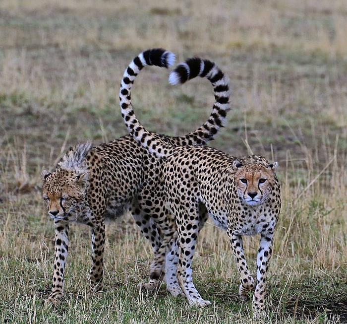 Большие кошки Животные, Большие кошки, Длиннопост, Гепард, Леопард, Лев