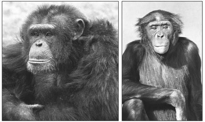 Издалека долго течет река Конго Шимпанзе, Бонобо, Антропогенез, Тимонова, Приматы, Родственники, Эволюция, Конго, Длиннопост