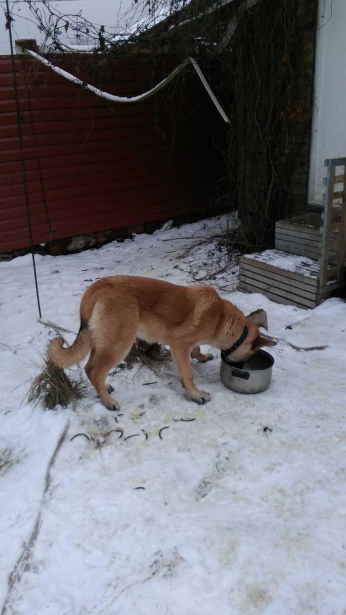 Джесси ищет дом Собака, В добрые руки, Без рейтинга, Истра, Длиннопост, Помощь животным, Ищу хозяина