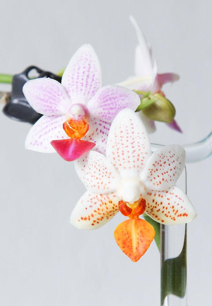 Фаленопсис - уход в домашних условиях, фото, пересадка Комнатные растения, Домашние цветы, Орхидеи, Фаленопсис, Длиннопост