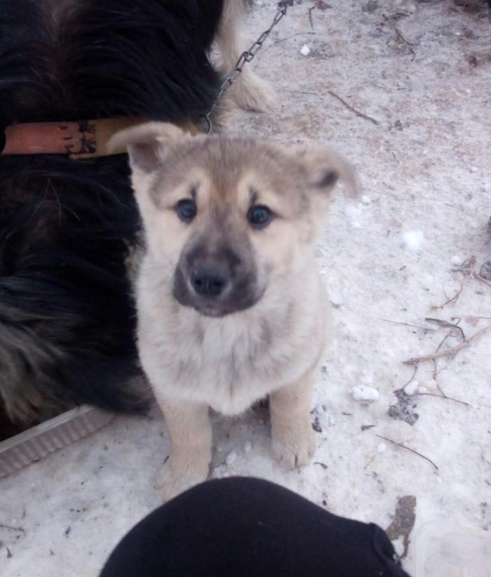 Ищу родителей для щенков Собака, Щенки, В добрые руки, Тула, Тульская область, Длиннопост, Ищу хозяина, Без рейтинга