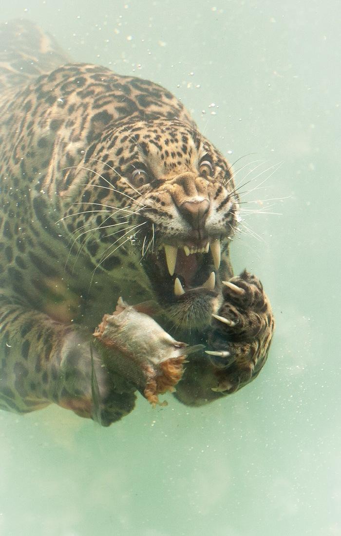 Ягуар под водой Ягуар, Фотография, Фотоохота, Хищник, Длиннопост