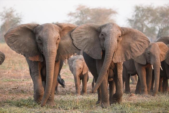 Африканские слоны перестали отращивать бивни из-за браконьеров Природа, Слоны, Браконьеры, Бивень, Эволюция, Длиннопост