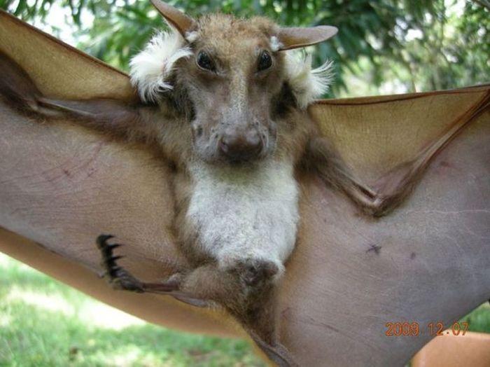 Летучие мыши с мордой собаки Природа, Летучая мышь, Крылан, Крыланы, Летучая лисица