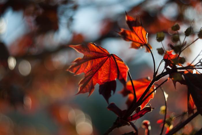 Огненные листья